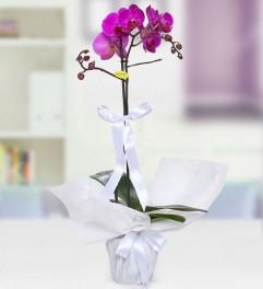 Mor Phalanopsiz Orkide