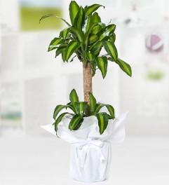 Yucca Massengena