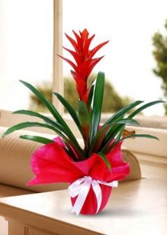 Saksıda Guzmanya Çiçeği